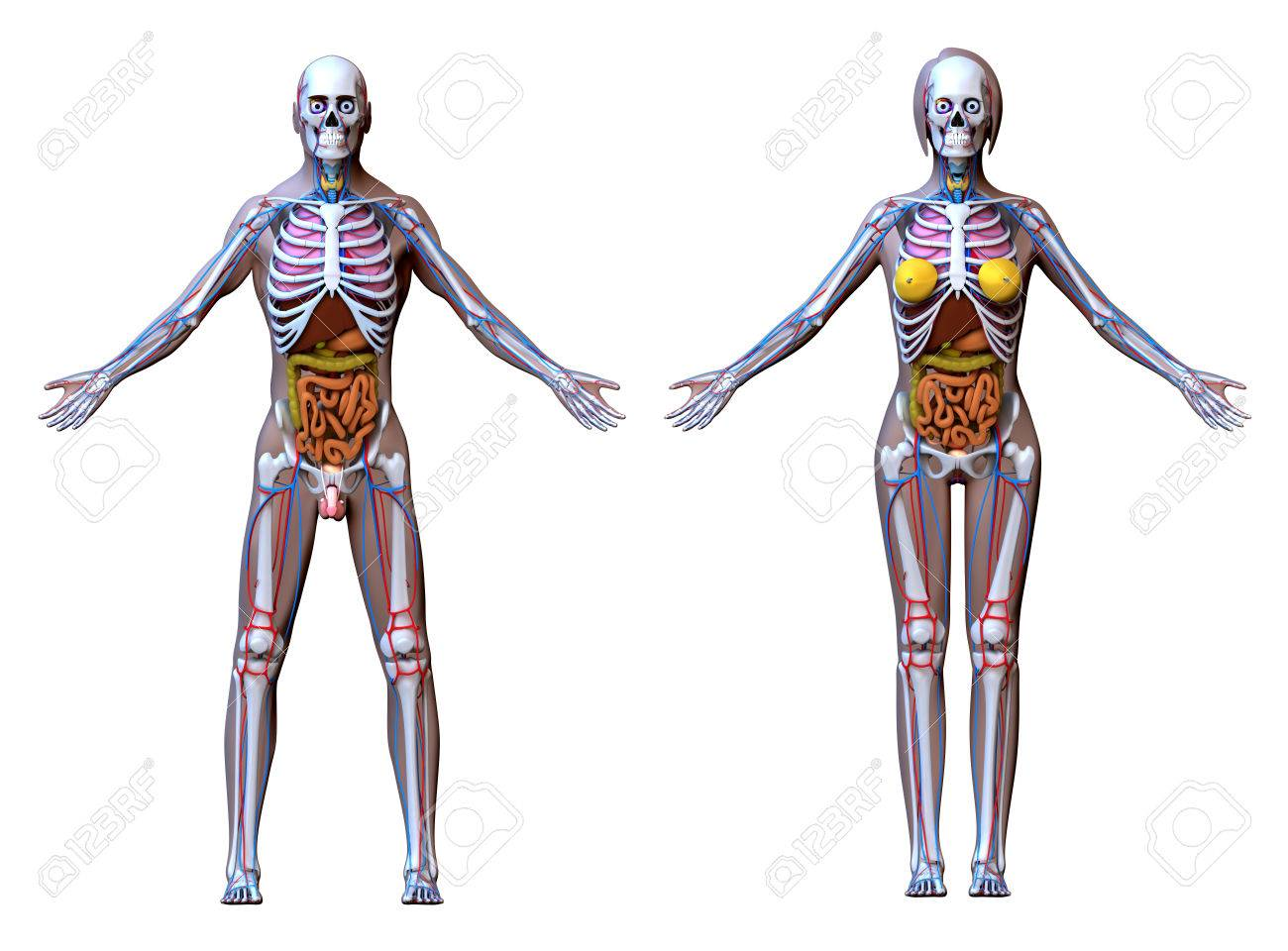 Anatomy Male Female Isolated On White Stock Photo, Picture And ...