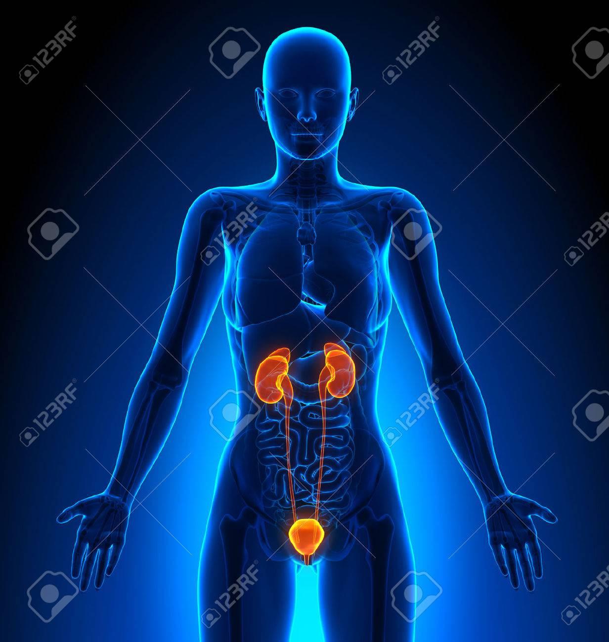 Sistema Urinario - Femenino Órganos - Anatomía Humana Fotos ...
