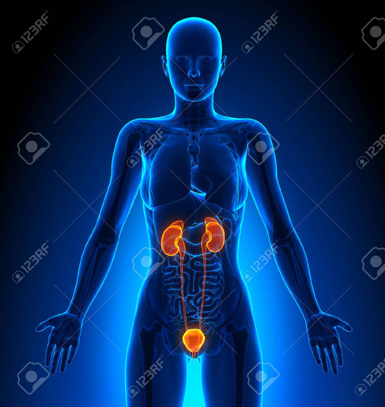 Urinary System Female Organs Human Anatomy Stock Photo Picture