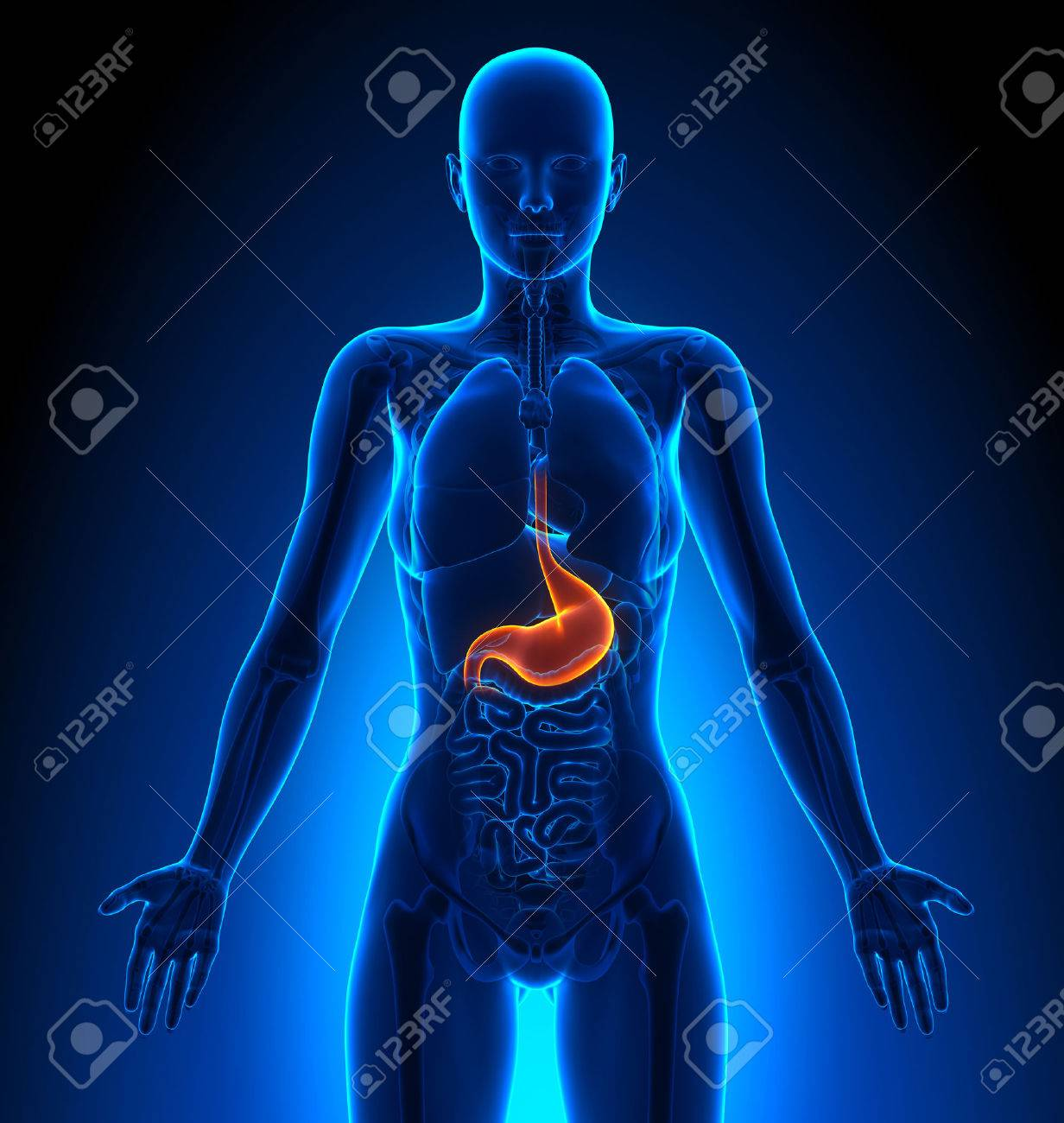 Stomach Female Organs Human Anatomy Stock Photo Picture And