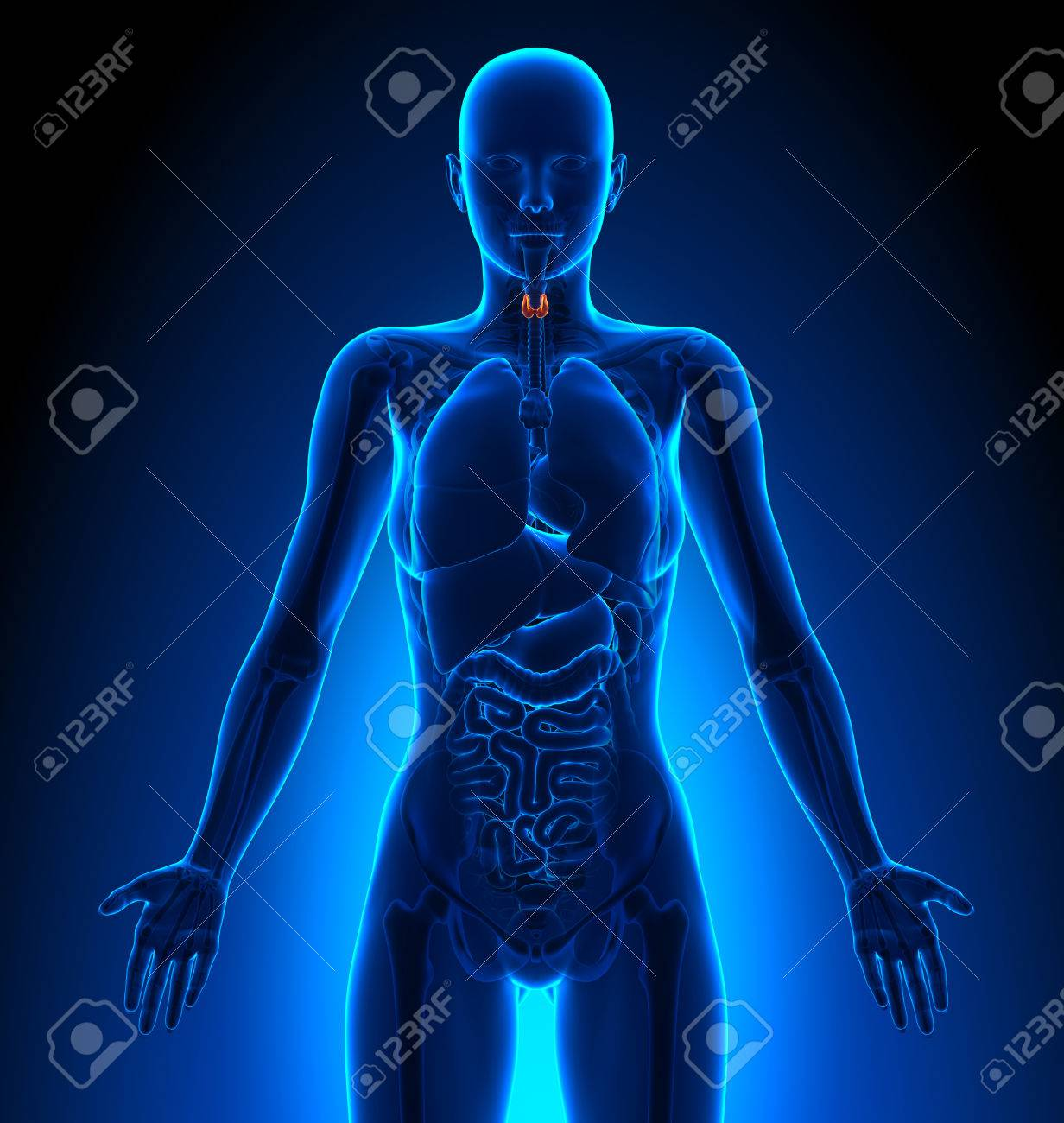 Tiroides - Femenino Órganos - Anatomía Humana Fotos, Retratos ...