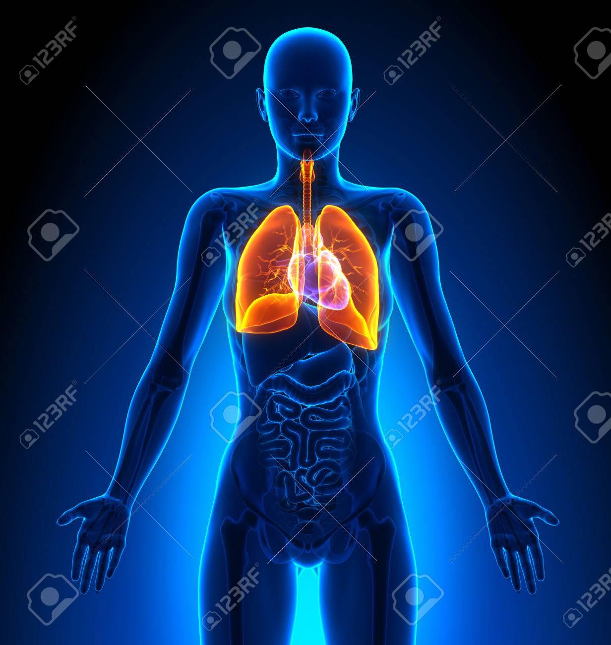 Pulmones - Femenino Órganos - Anatomía Humana Fotos, Retratos ...