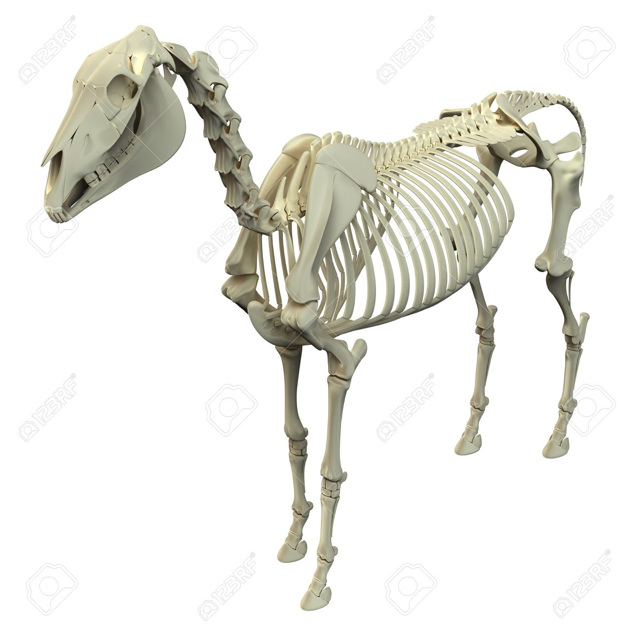 Horse Skeleton - Horse Equus Anatomy - Isolated On White Stock Photo ...