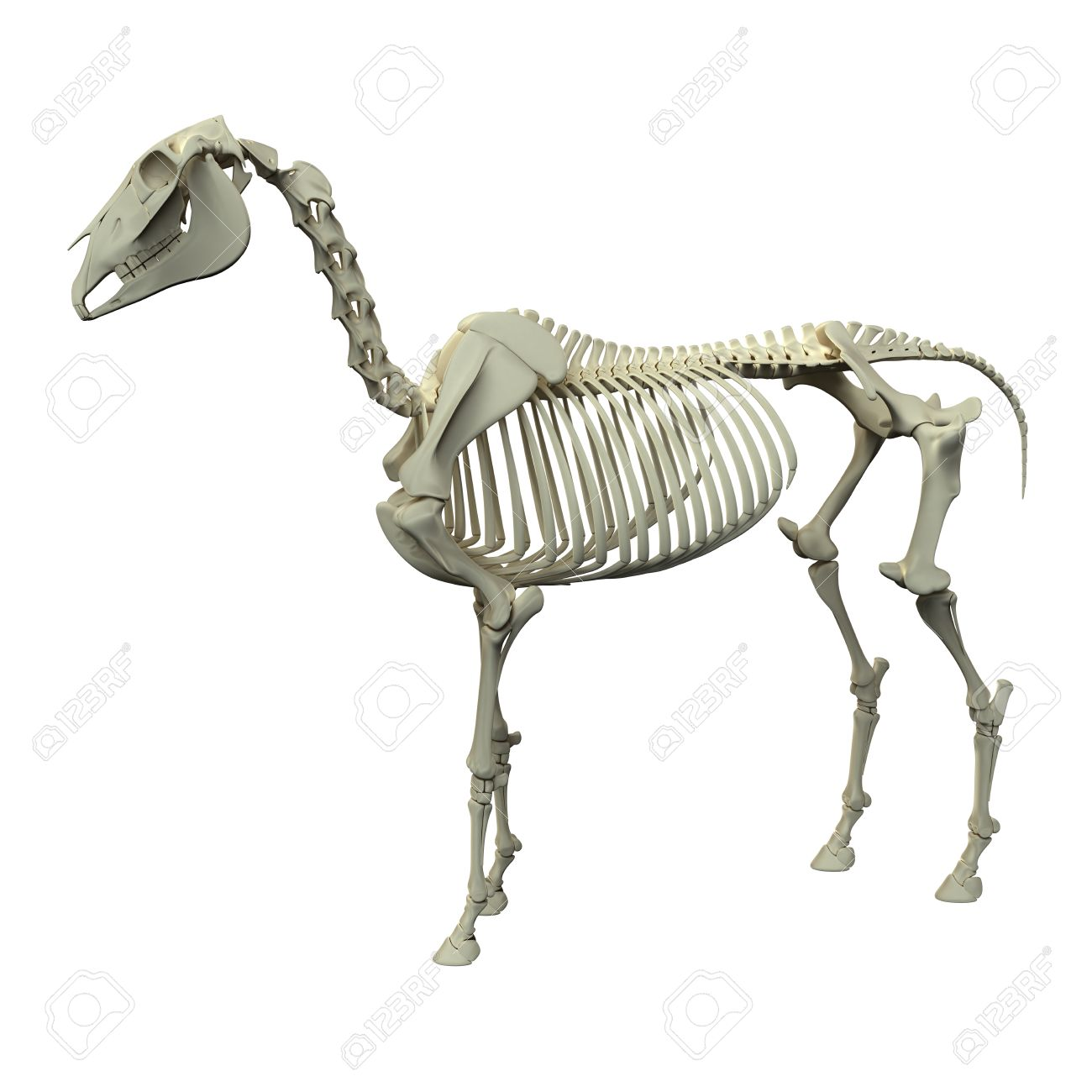 Horse Skeleton - Horse Equus Anatomy - Side View Isolated On.. Stock ...