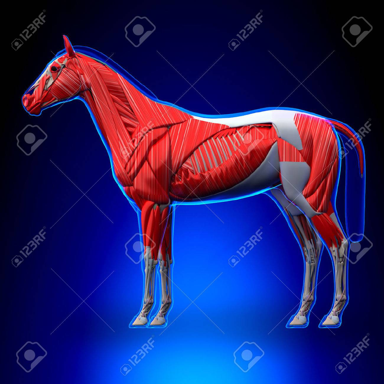 Horse Muscles - Horse Equus Anatomy - On Blue Background Stock Photo ...