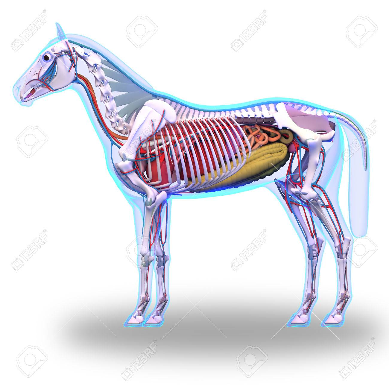 Horse Anatomy - Internal Anatomy Of Horse Isolated On White Stock ...