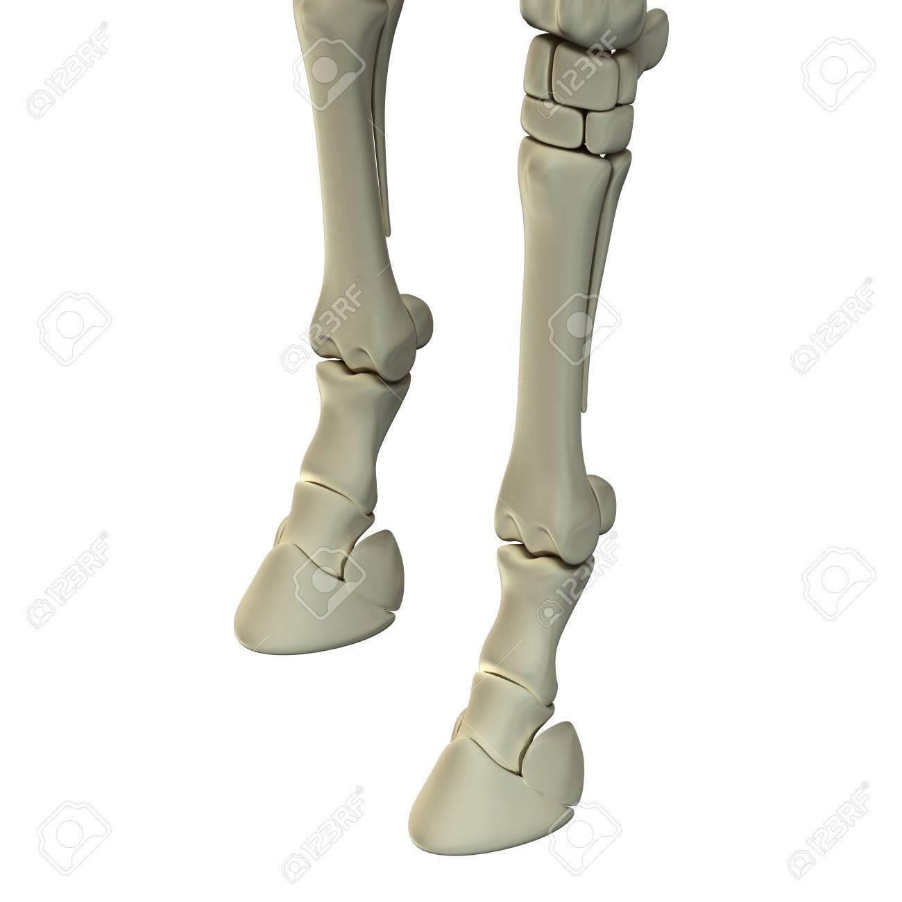 Horse Front Leg Bones Horse Equus Anatomy Isolated On White