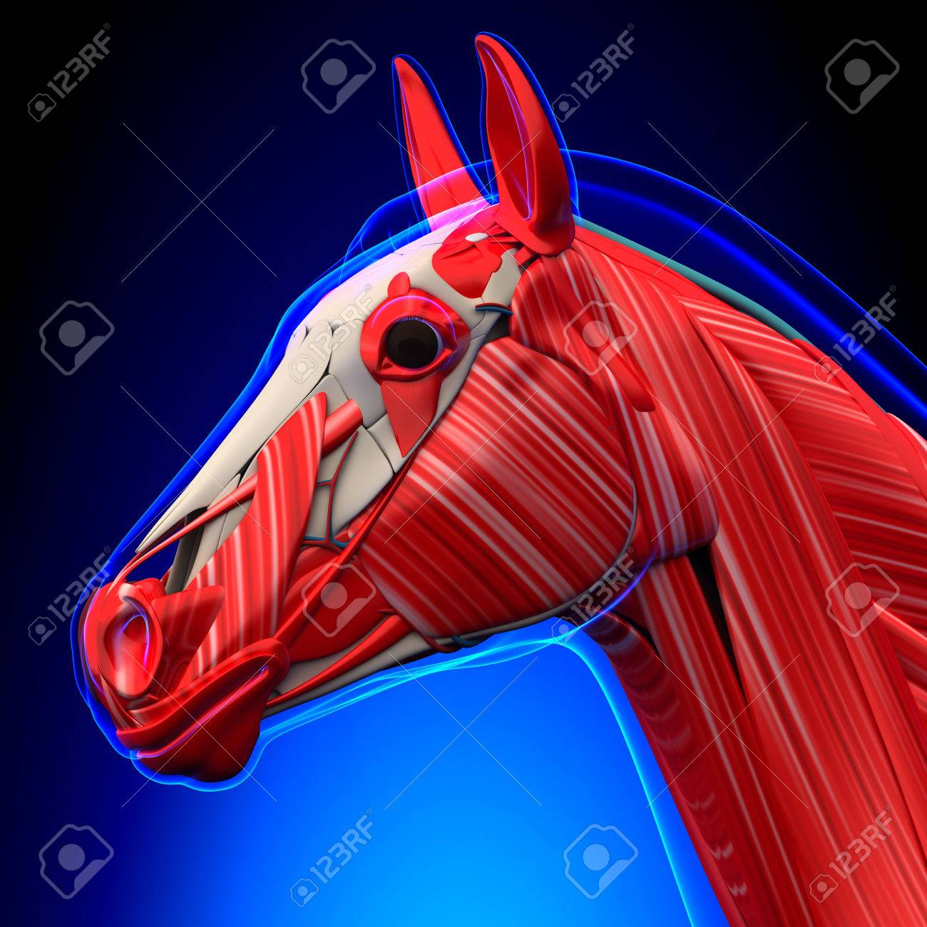 Horse Head Muscles - Horse Equus Anatomy - On Blue Background Stock ...
