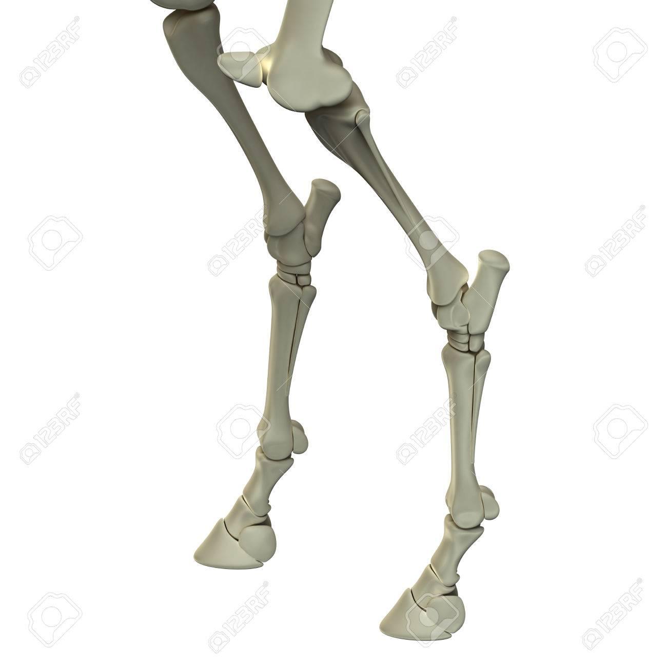 Pferde Hind Leg Bones Pferd Equus Anatomy Isoliert Auf Wei