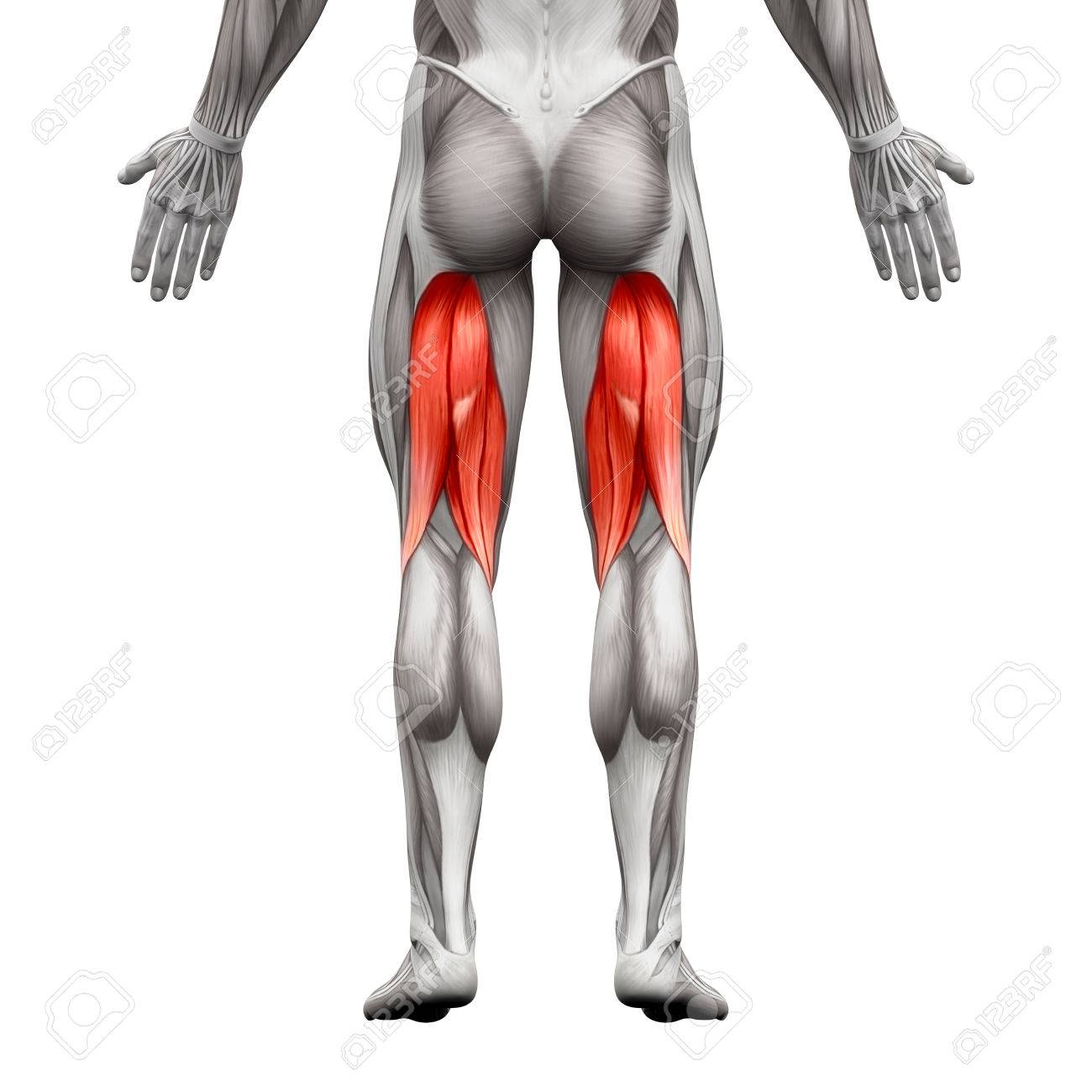 Hamstrings Male Muscles Anatomy Muscle Isolated On White Stock