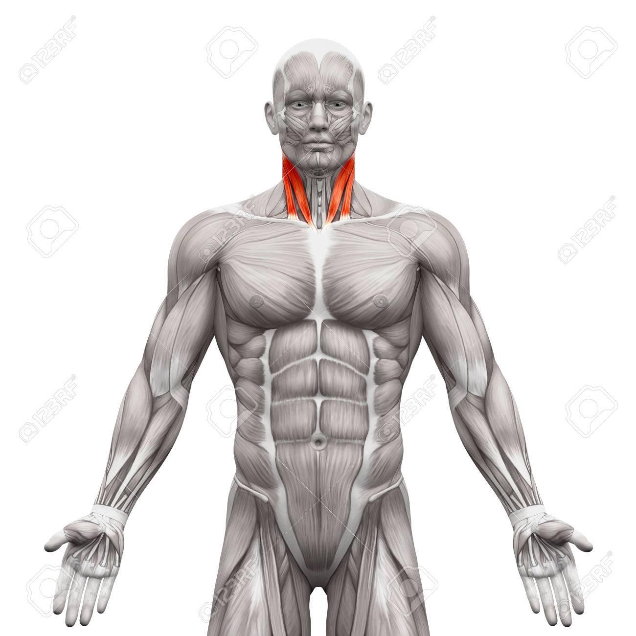Los Músculos Del Cuello - Esternal Y Clavicular Cabeza Cabeza ...