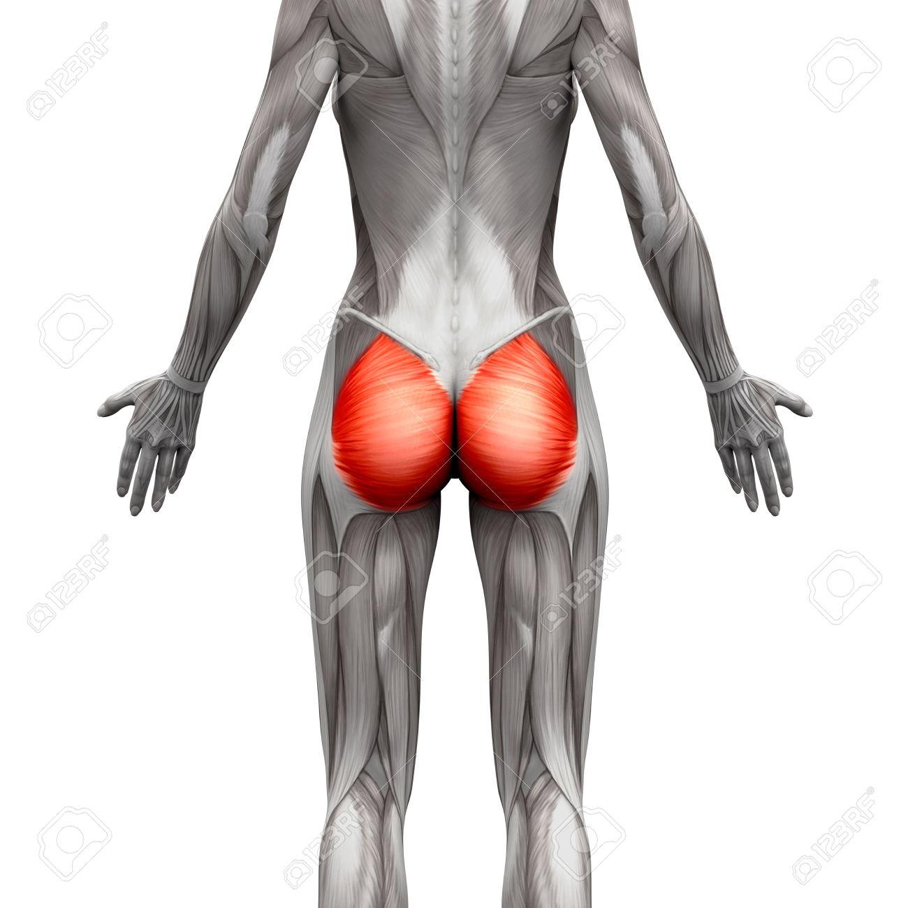anatomie muscle fessier
