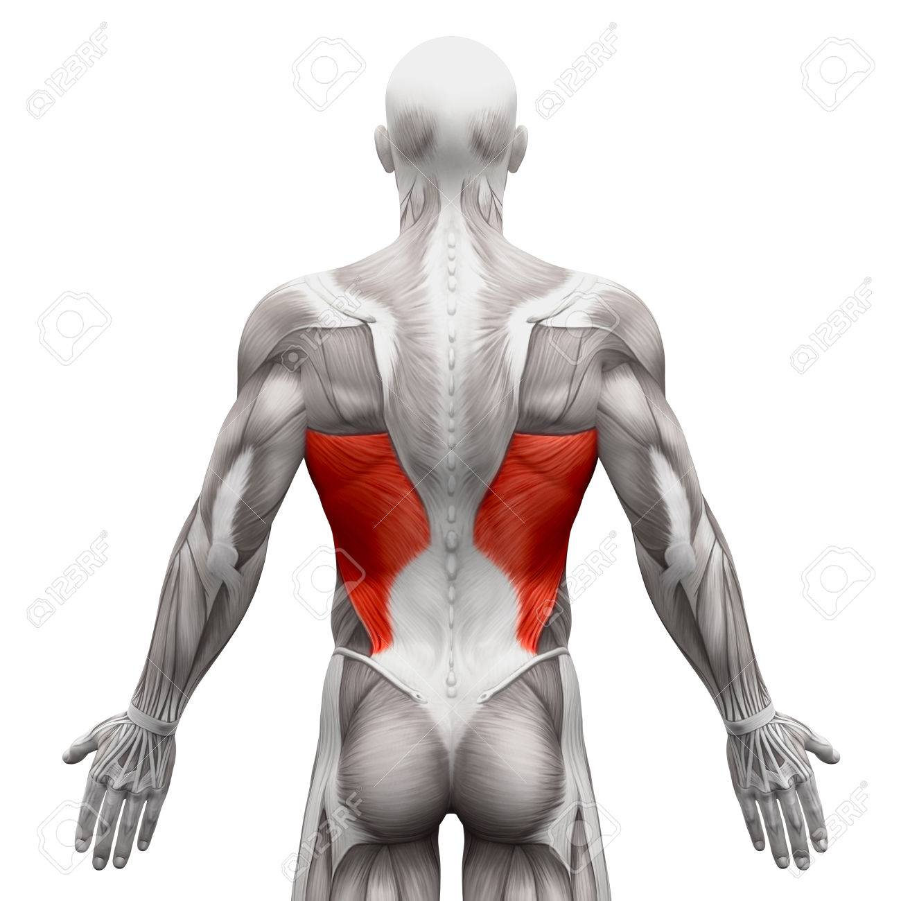 Dorsal Ancho - Músculos Anatomía Aislados En Blanco - Ilustración 3D ...