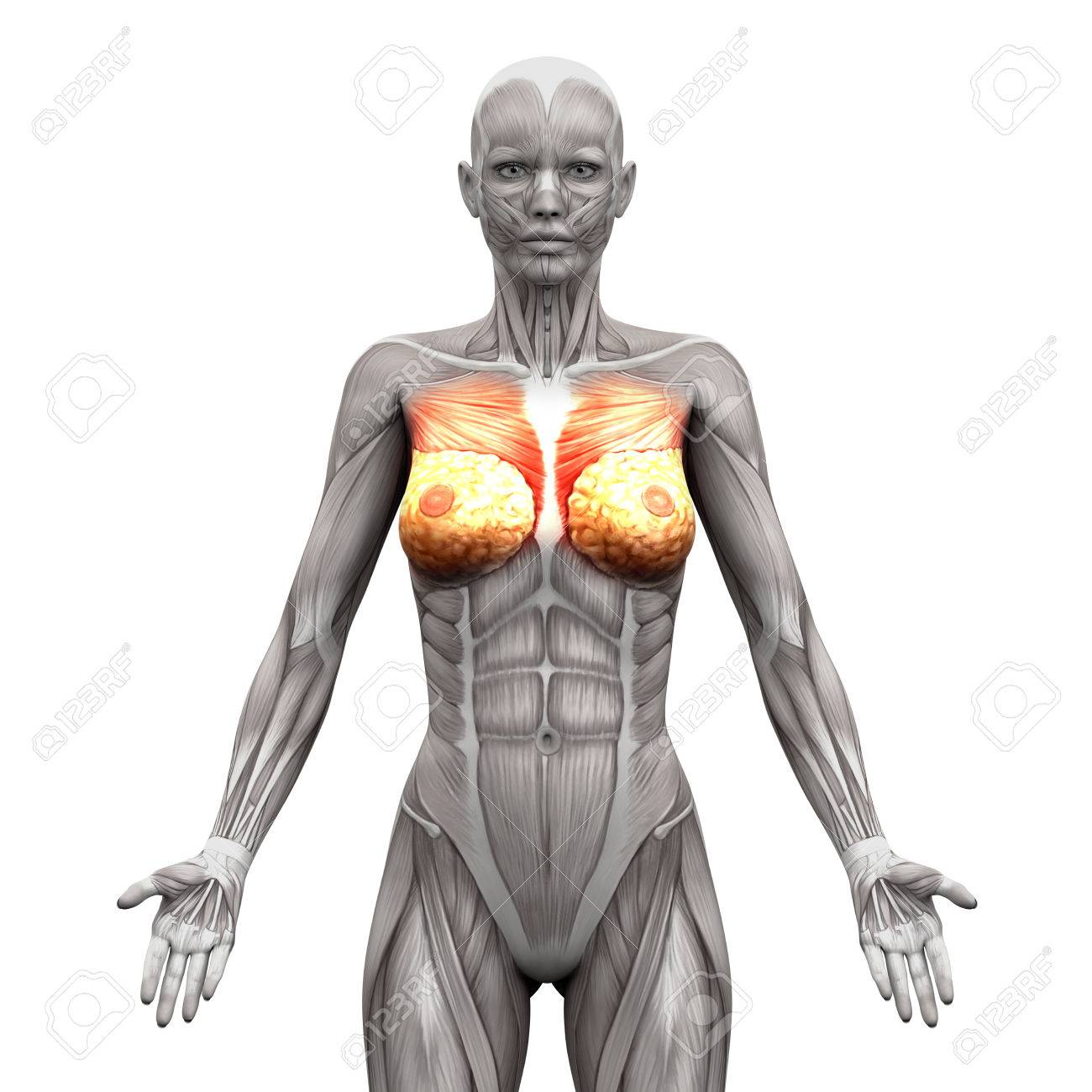 chest muscles - pectoralis major and minor - anatomy muscles, Cephalic Vein