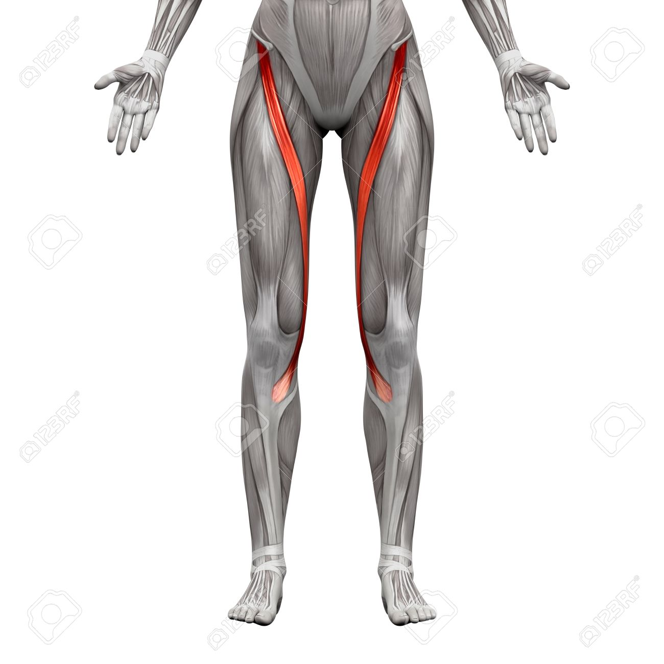 Sartorius Muscle Anatomy Muscles Isolated On White 3d