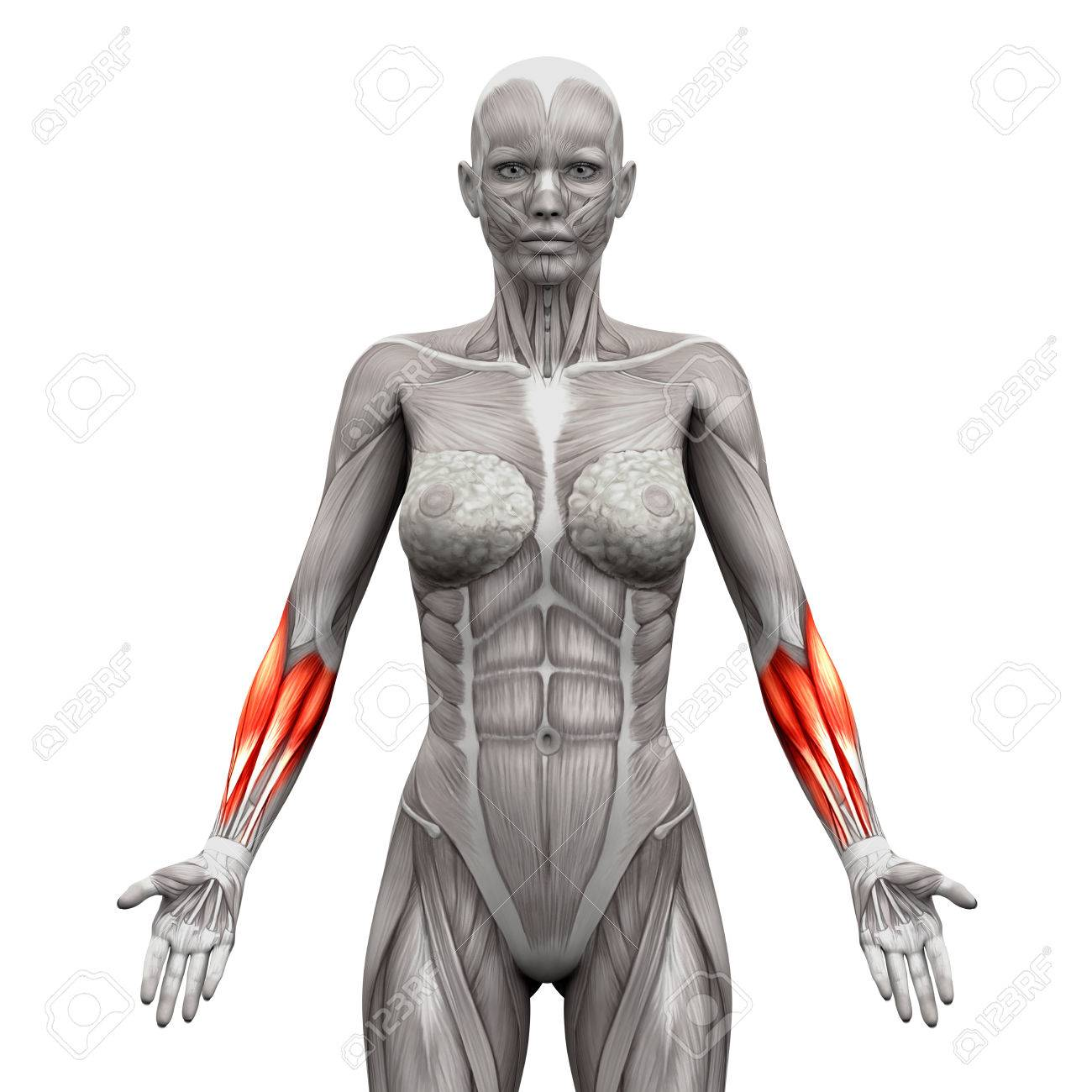 Forearm Muscles - Anatomy Muscles Isolated On White - 3D ...
