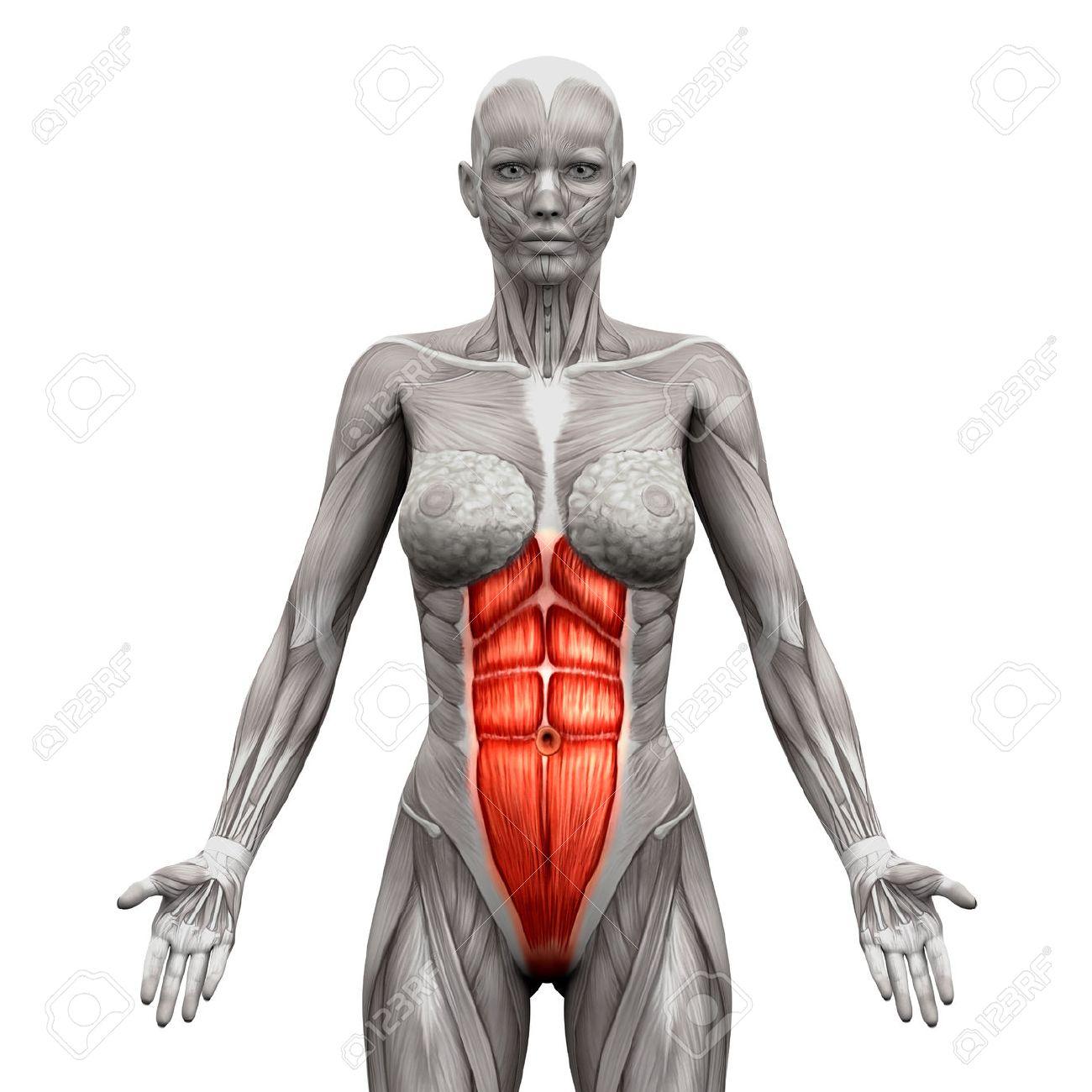Rectus Abdominis - Bauchmuskeln - Anatomie Muskeln Isoliert Auf Weiß ...