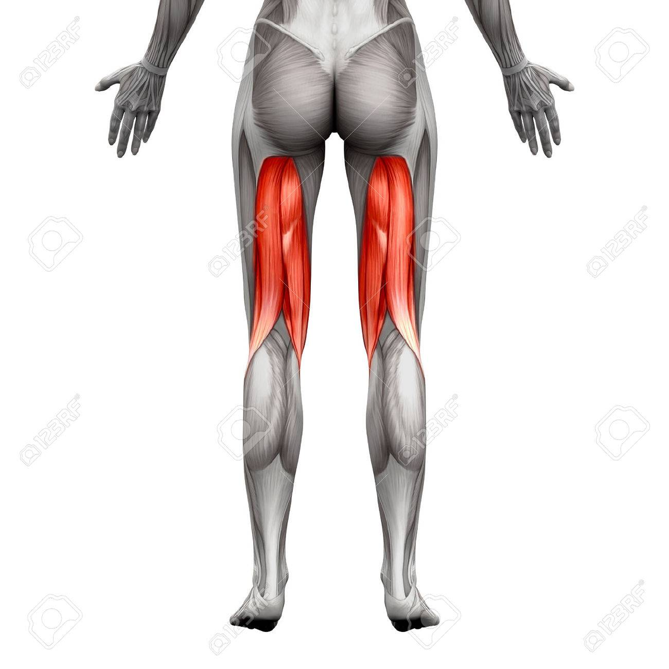 Hamstrings Muscles Anatomy Muscle Isolated On White 3d