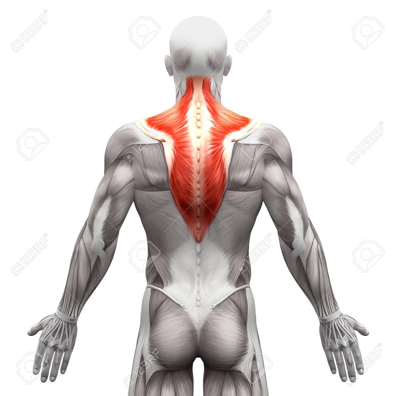 Trapecio Muscular - Músculos Anatomía Aislados En Blanco ...