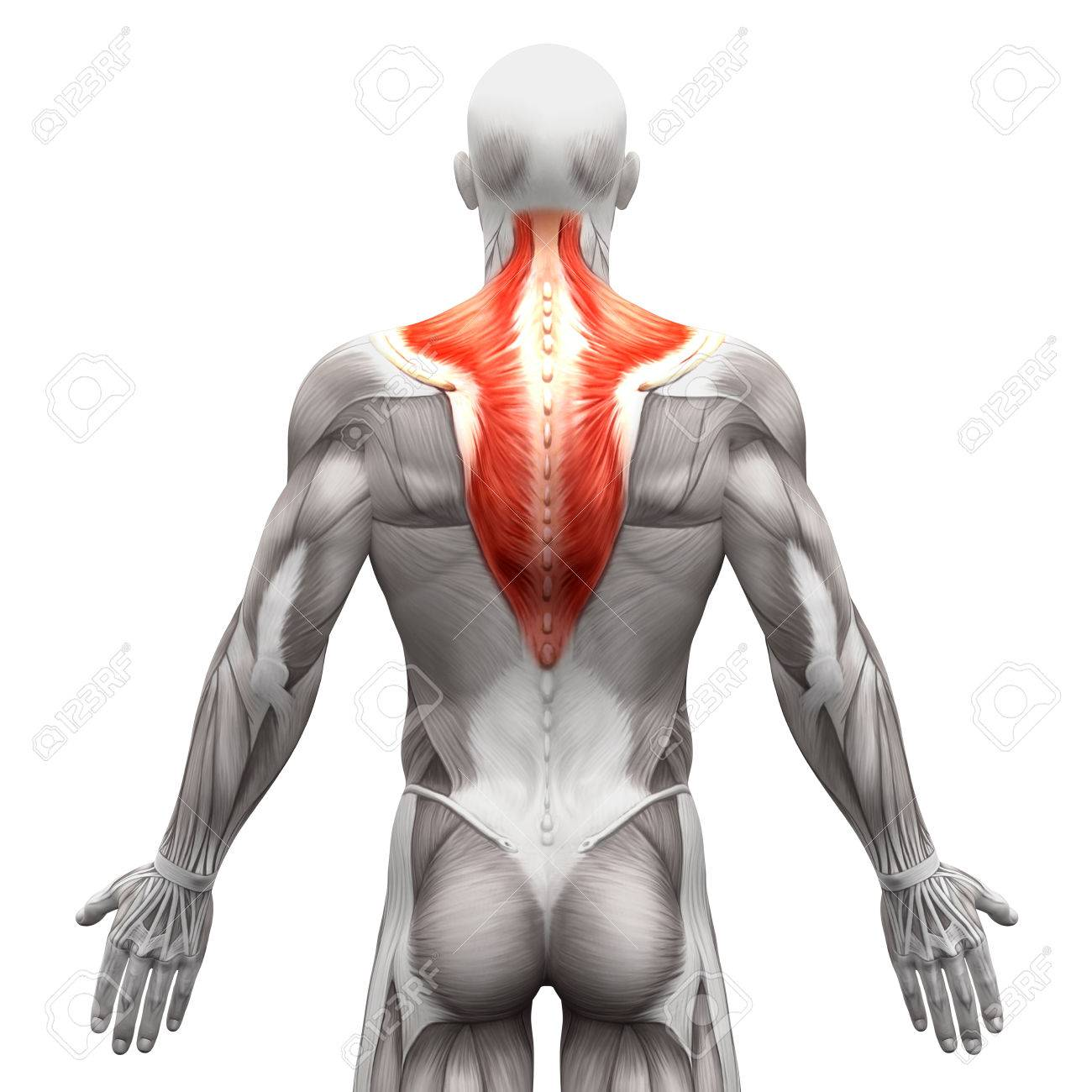 Trapezius Muscle - Anatomy Muscles Isolated On White - 3D ...
