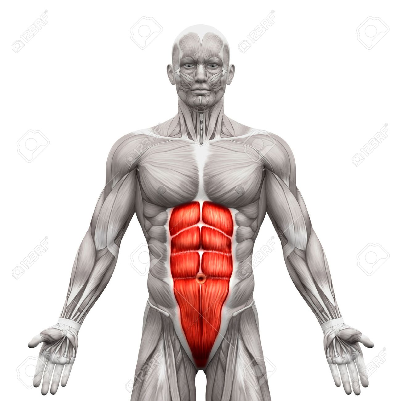 Rectus Abdominis - Abdominal Muscles - Anatomy Muscles Isolated ...
