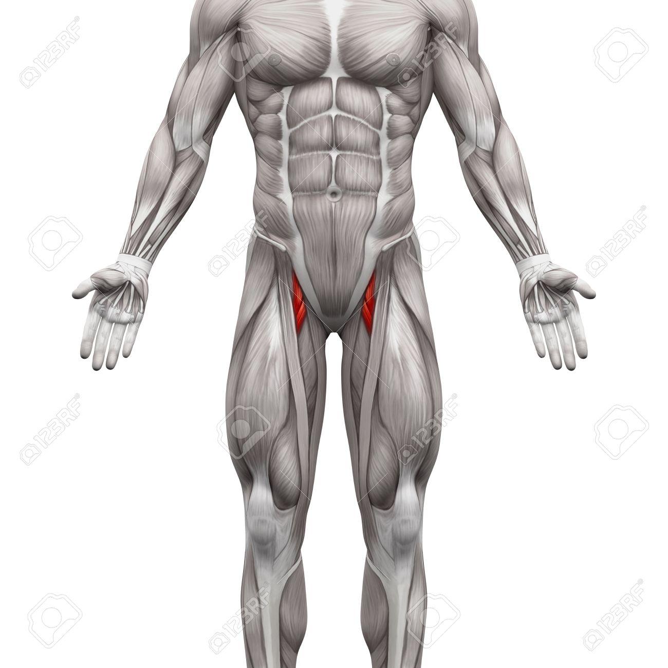Aductor Corto Y El Aductor Largo Muscular - Músculos Anatomía ...