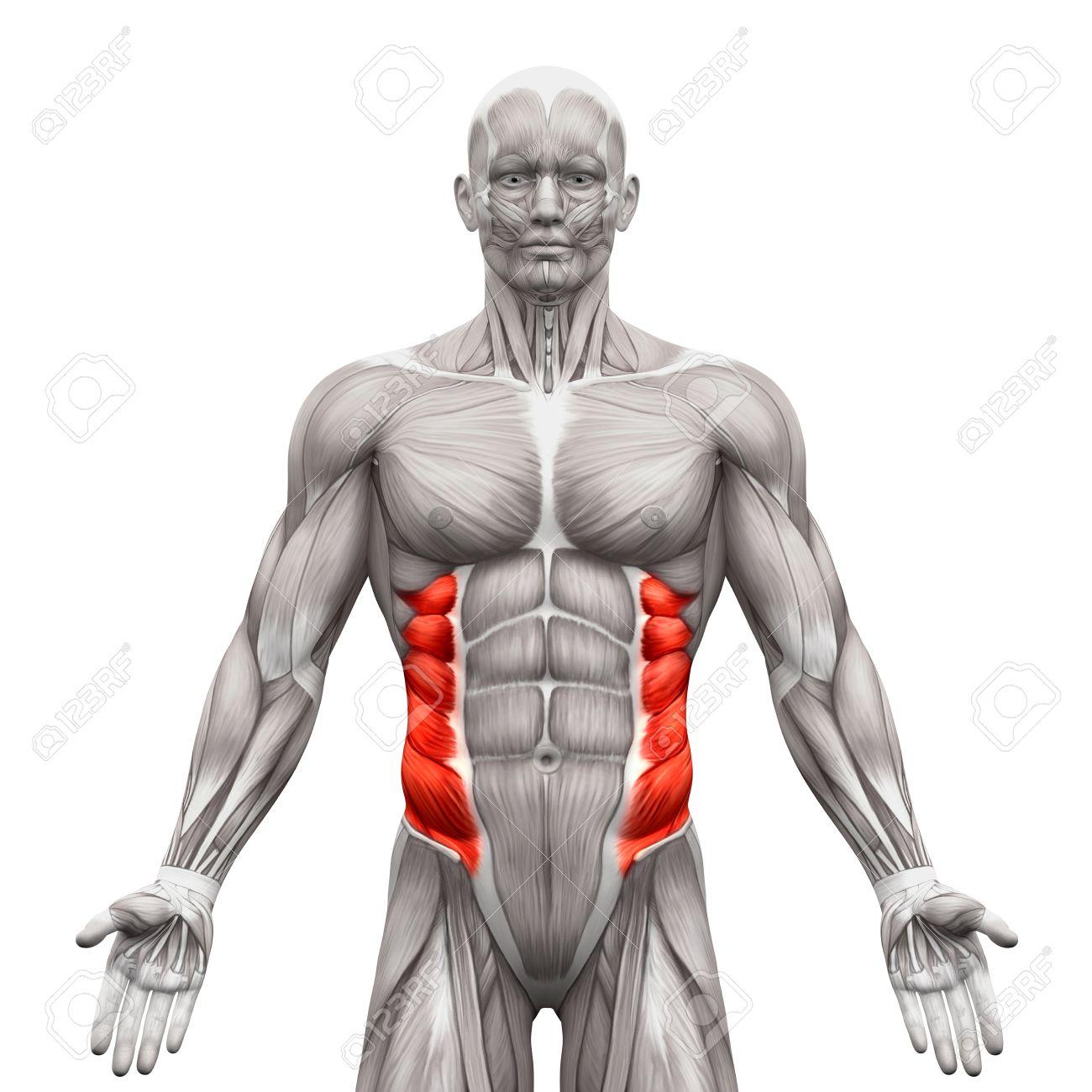 Los Músculos Oblicuo Externo - Músculos Anatomía Aislados En El ...