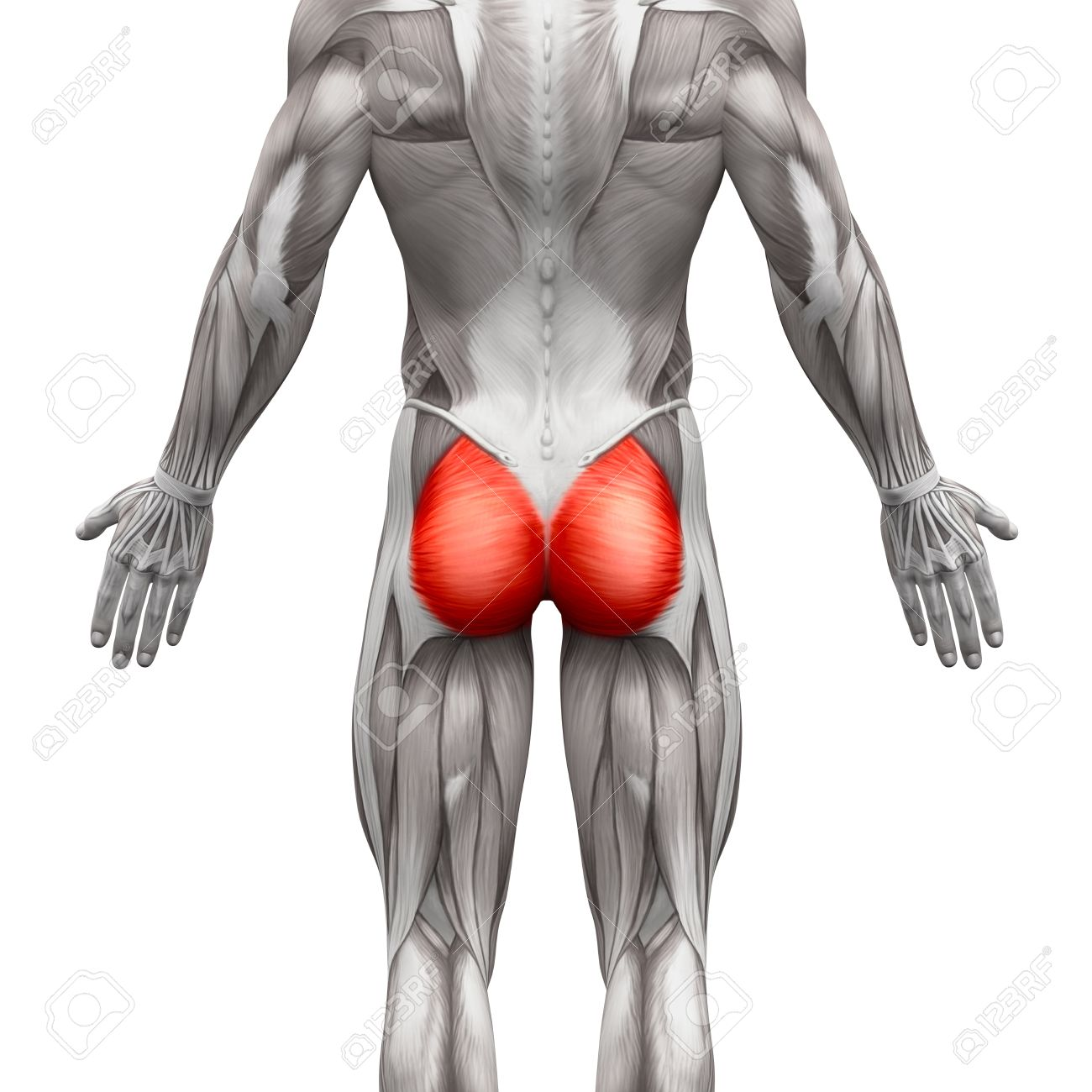 Gluteal Muscles / Gluteus Maximus - Anatomy Muscles Isolated.. Stock ...
