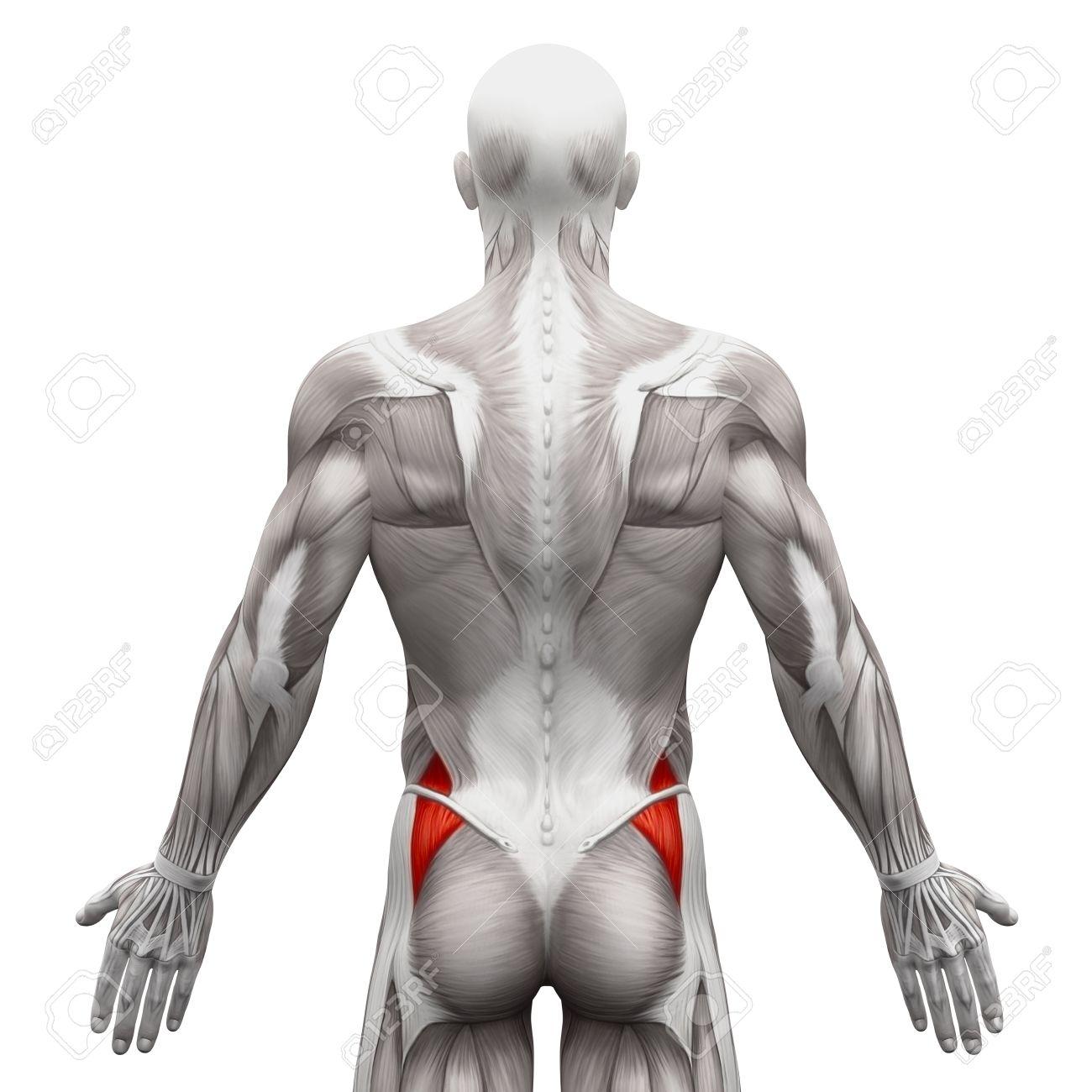 Gluteus Medius - Anatomie Muskeln Isoliert Auf Weiß - 3D-Darstellung ...