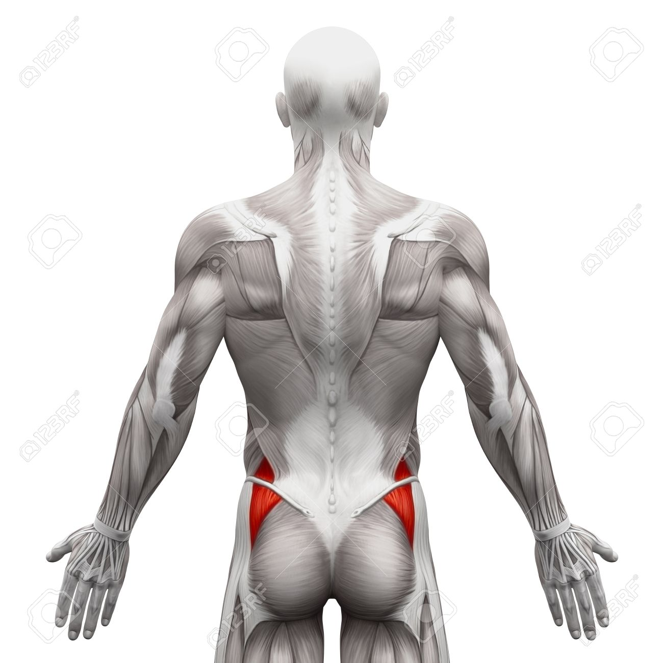 Gluteus Medius - Anatomy Muscles Isolated On White - 3D Illustration ...