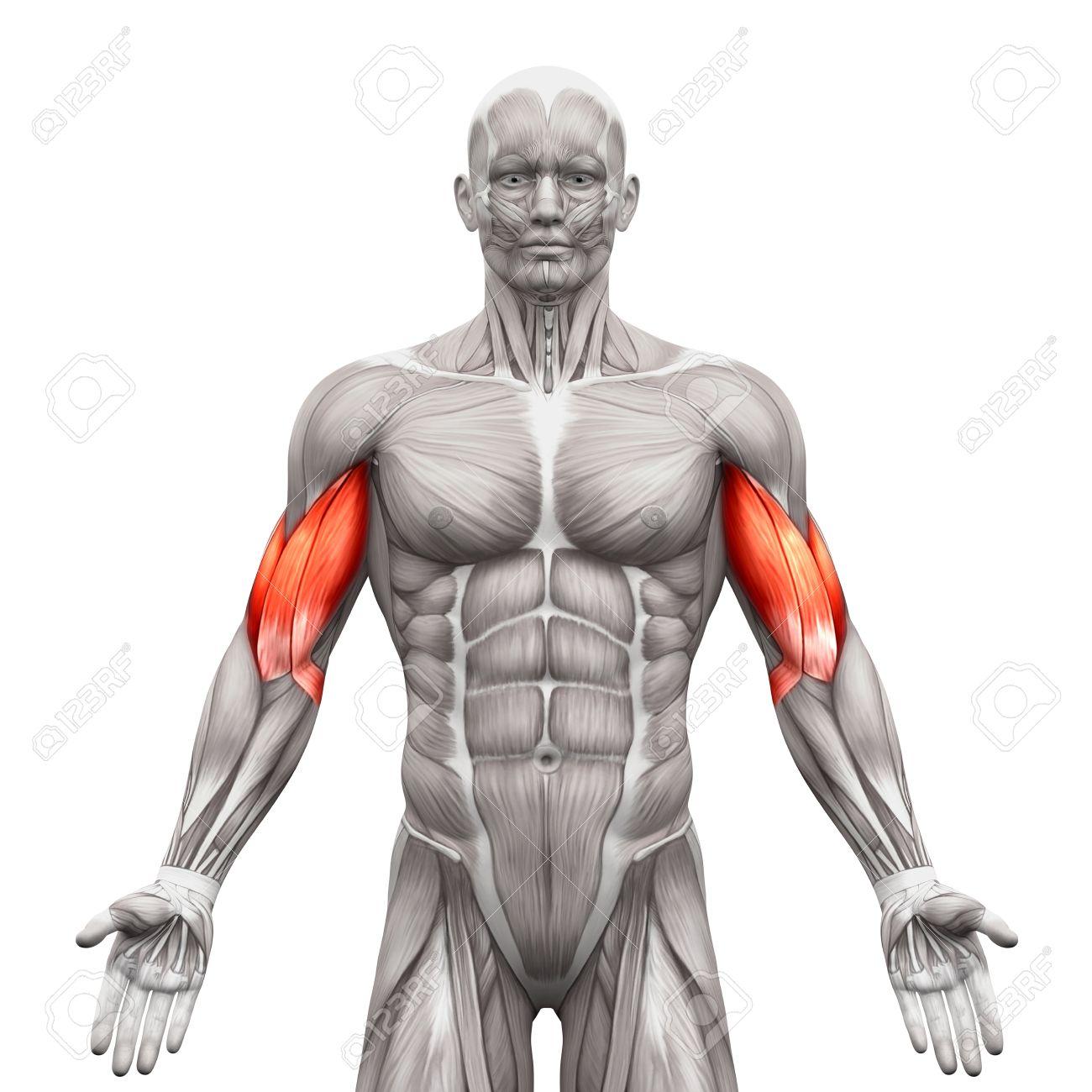 Los Músculos Bíceps - Músculos Anatomía Aislados En El Blanco ...