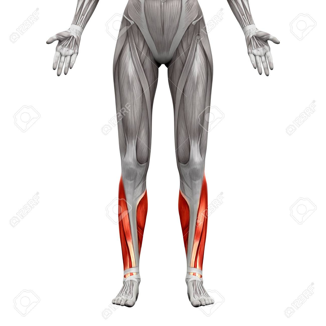Calf Muscles - Anatomy Muscles Isolated On White - 3D Illustration ...