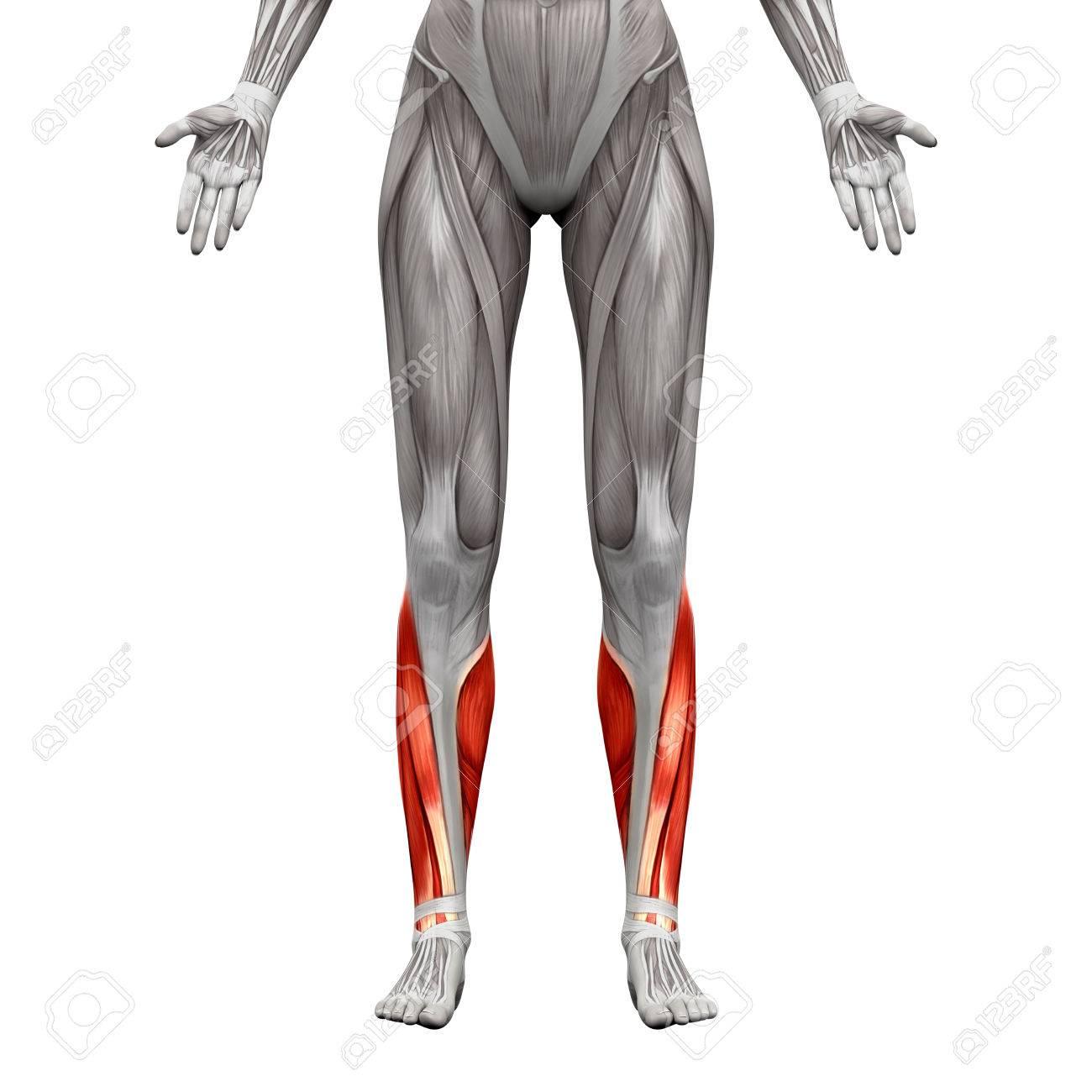 Kalb Muskeln - Anatomie Muskeln Isoliert Auf Weiß - 3D-Darstellung ...