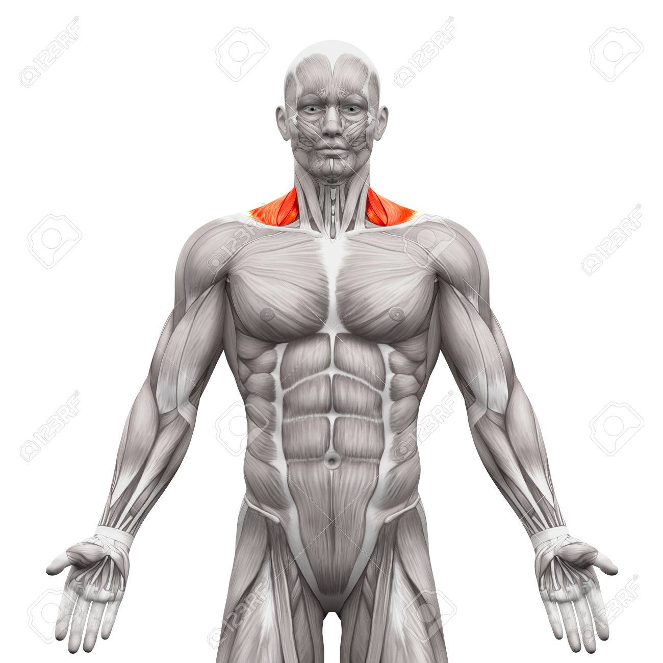 Trapezius Front Neck Muscles - Anatomy Muscles Isolated On White ...