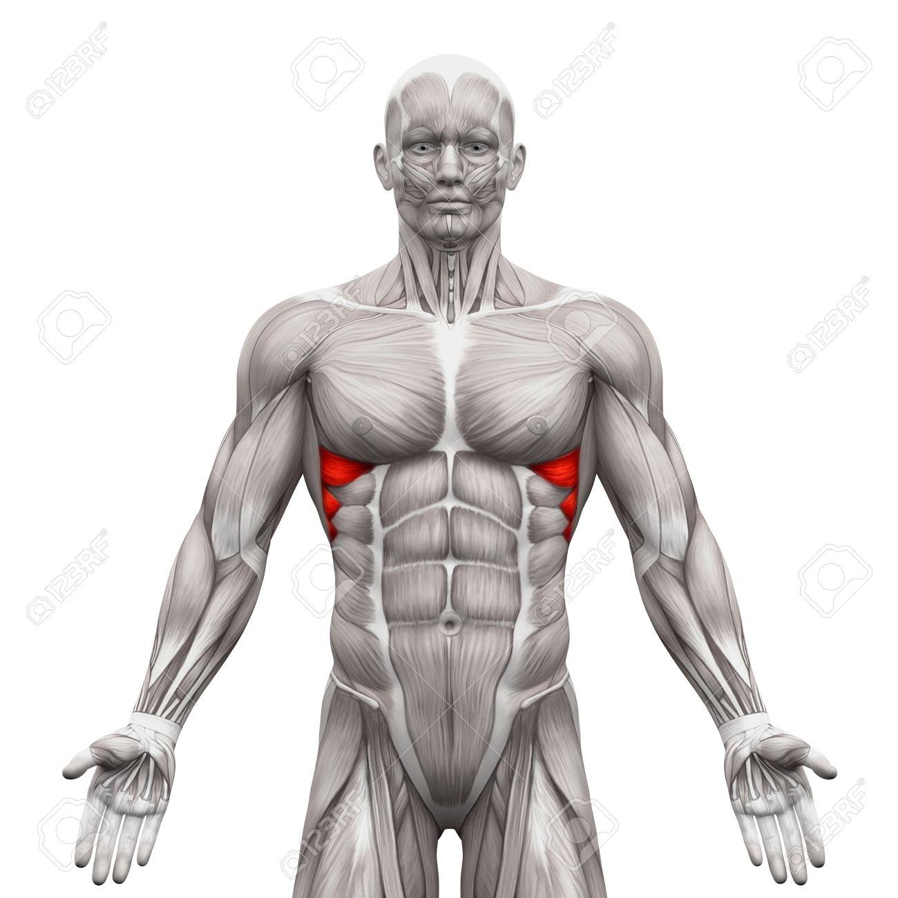 Sägezahnmuskel Anter Muskeln - Anatomie Muskeln Isoliert Auf Weiß ...
