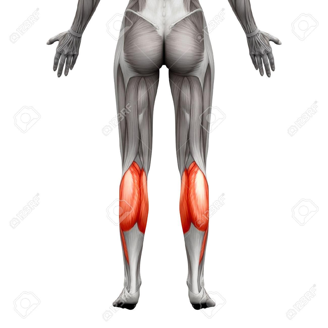 Músculo Del Becerro - Gastrocnemio, Plantar Anatomía Muscular ...
