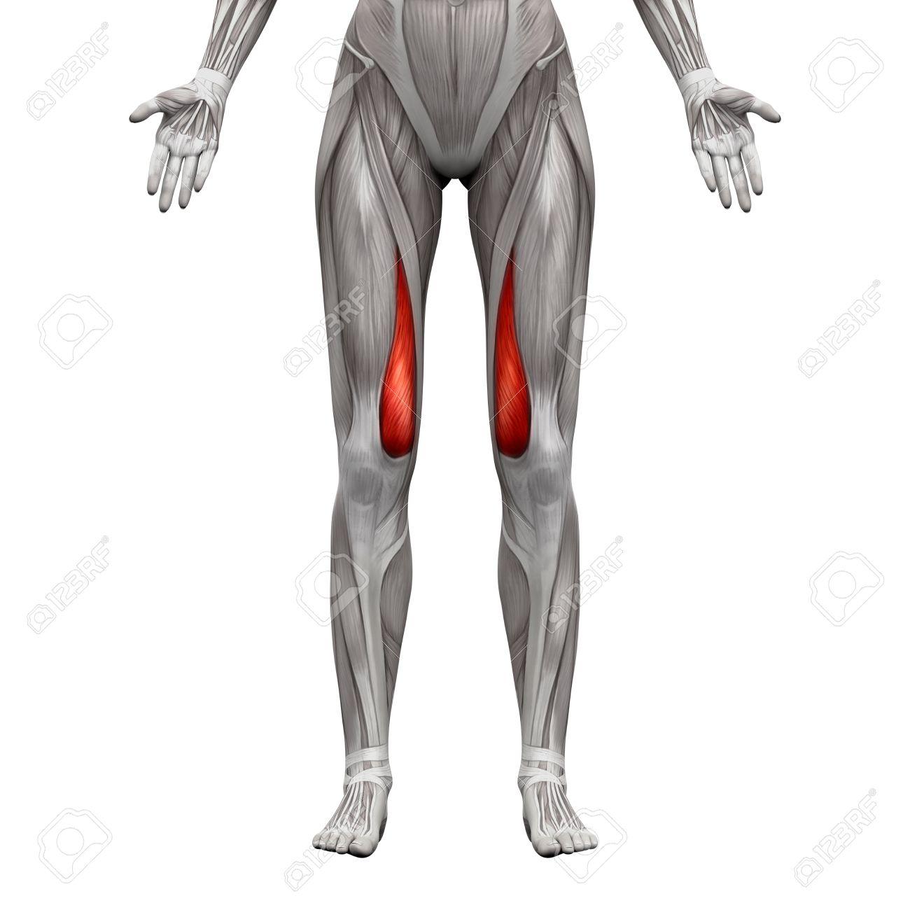 Vastus Medialis Muscle - Anatomy Muscles Isolated On White -.. Stock ...