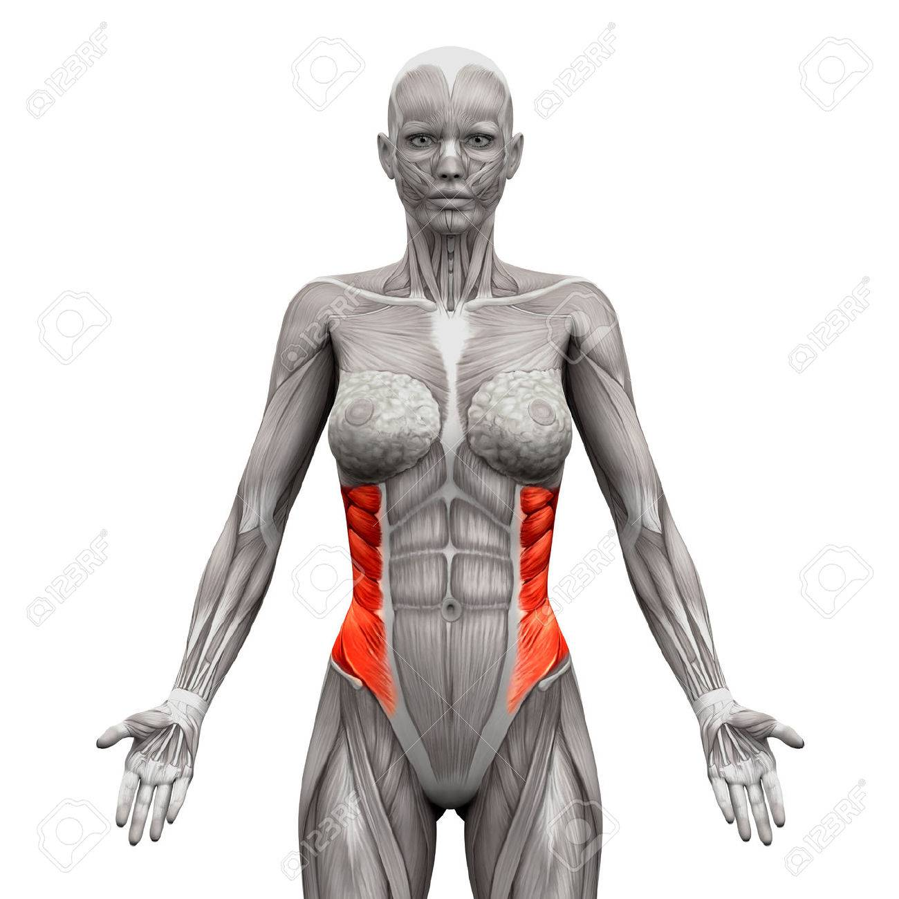 Externe Schrägen Muskeln - Anatomie Muskeln Isoliert Auf Weiß - 3D ...