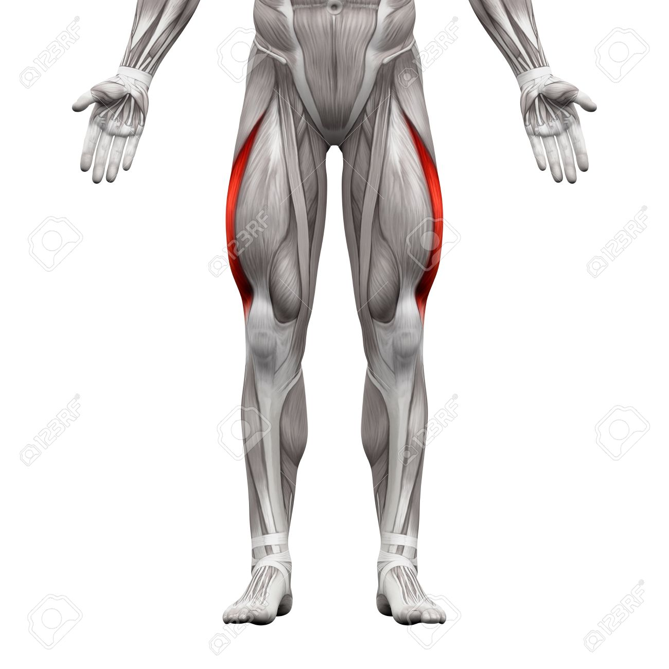 Músculo Vasto Lateral - Músculos Anatomía Aislados En Blanco ...