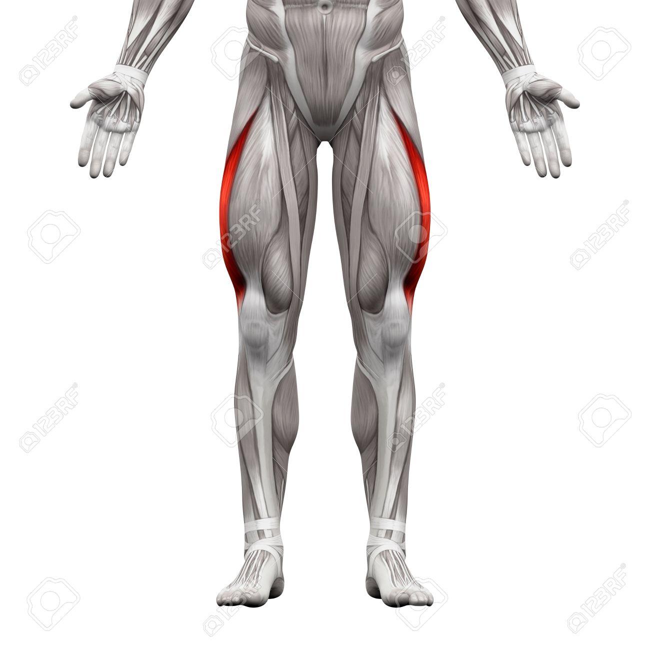 M. Vastus Lateralis - Anatomie Muskeln Isoliert Auf Weiß - 3D ...