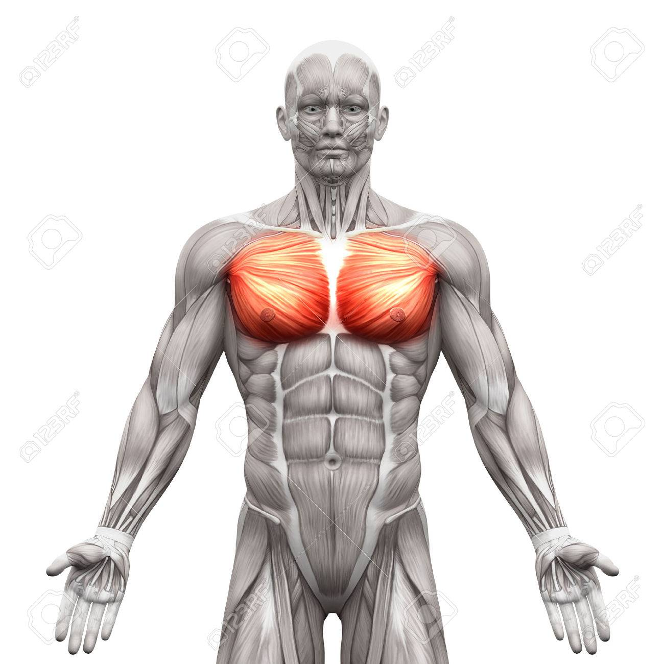 Chest Muscles - Pectoralis Major And Minor - Anatomy Muscles.. Stock ...