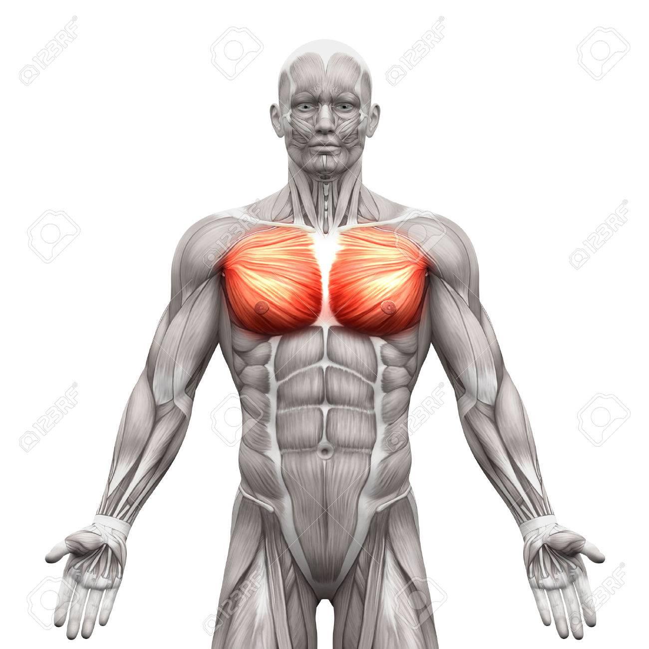 Músculos Del Pecho - Pectoral Mayor Y Menor - Músculos Anatomía ...