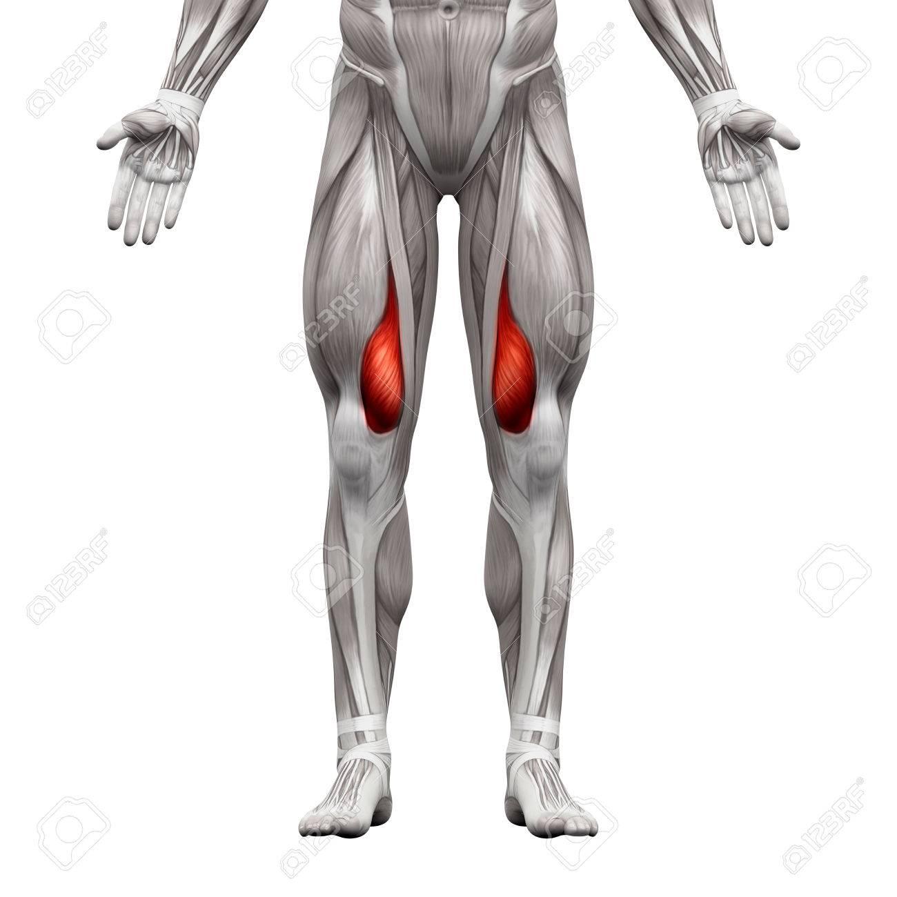 M. Vastus Medialis - Anatomie Muskeln Isoliert Auf Weiß - 3D ...