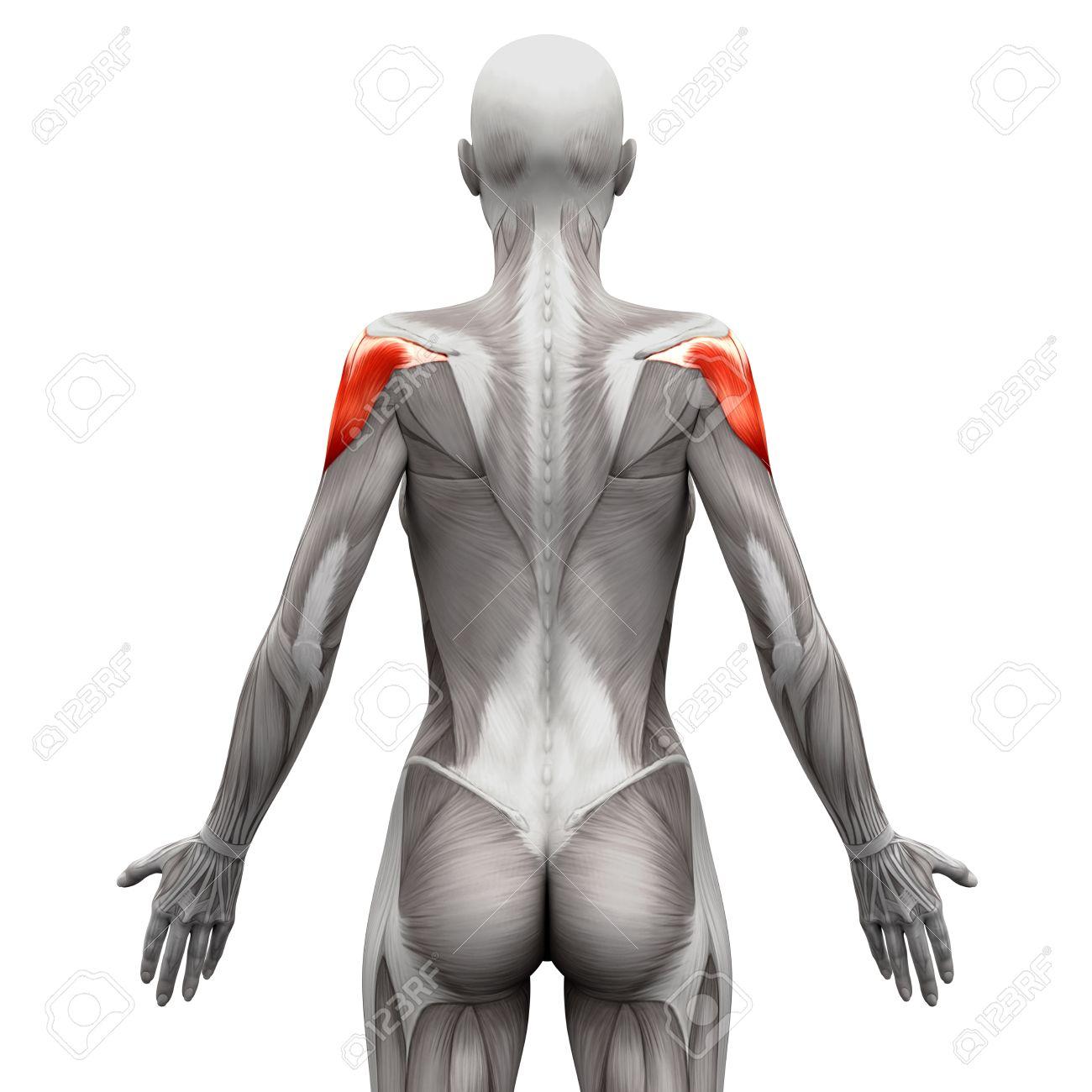 Deltoides Muscular - Músculos Anatomía Aislados En El Blanco ...
