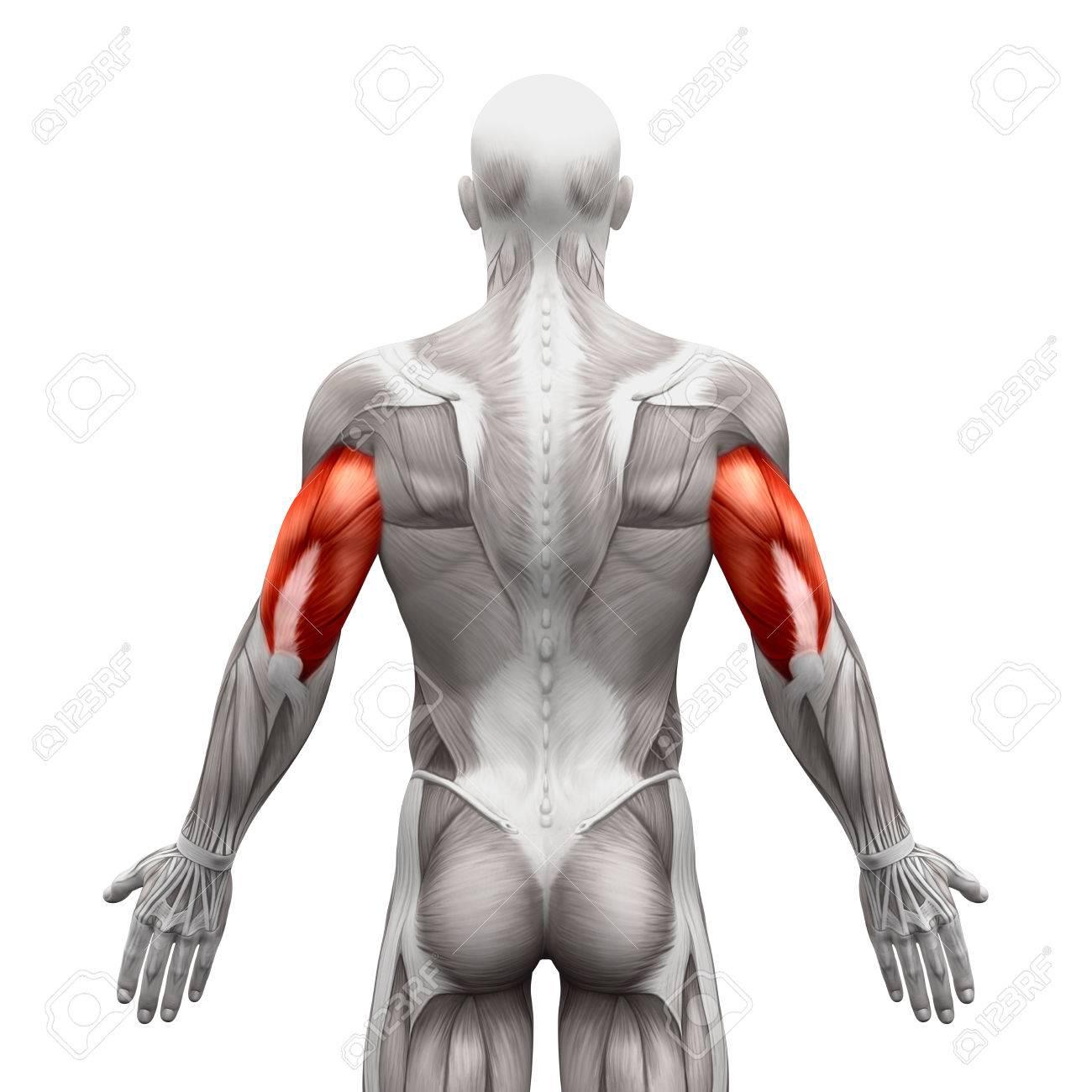 Los Músculos Tríceps - Músculos Anatomía Aislados En El Blanco ...