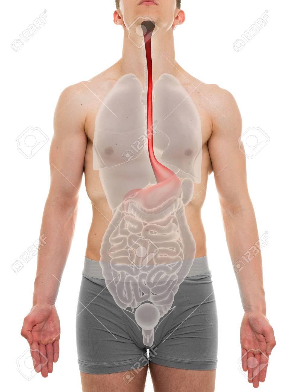Esophagus Male Internal Organs Anatomy 3d Illustration Stock