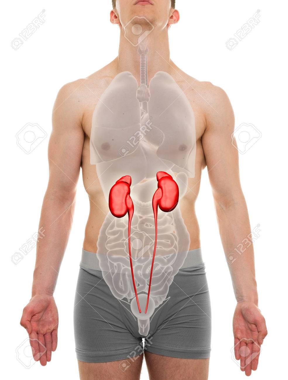 Kidneys Male Internal Organs Anatomy 3d Illustration Stock Photo
