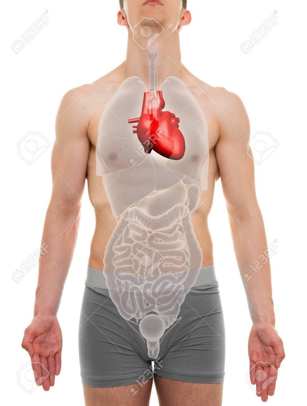 Heart Male - Internal Organs Anatomy - 3D Illustration Stock Photo ...