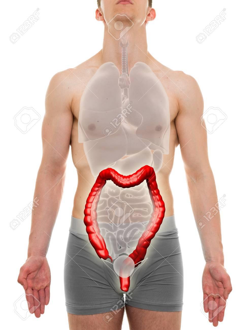 Los Grandes Machos Intestino - órganos Internos Anatomía ...