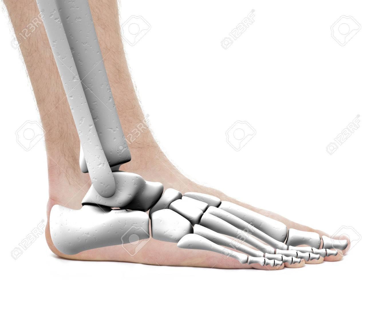Los Huesos Del Tobillo Del Pie - Anatomía Masculina - Studio Foto ...